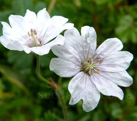 Geranium pyrenaicum is a European species and well known for being one of the most floriferous of Geraniums.