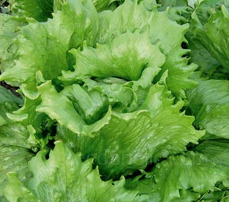 Nothing can beat Lettuce 'Great Lakes' as a consistent producer of good-sized, crisp, round heads.