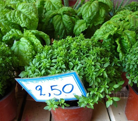 Greek Basil, Ocimum minimum is an improved variety of 'Bush'.