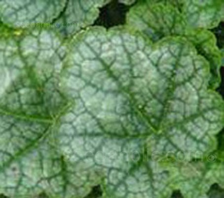 Heuchera 'Greenfinch'  forms a neat mound of rounded, mottled leaves that are a deep blue-green with dark green veins.