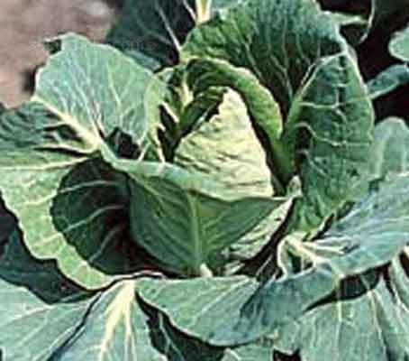 Appropriately named, Greyhound is one of the earliest summer cabbages and a reliable old favorite.