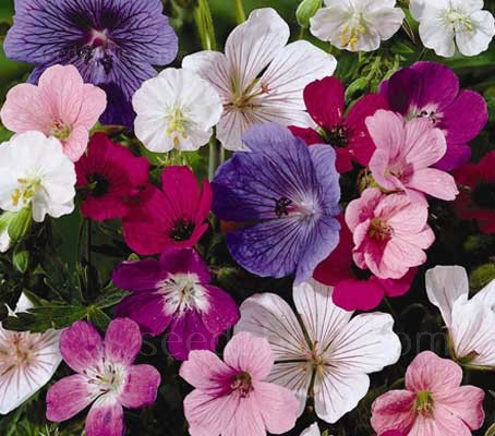 One of the longest bloomers in the garden, hardy geranium bears flowers for months at a time. It produces jewel-tone, saucer-shape flowers and mounds of handsome, lobed foliage.