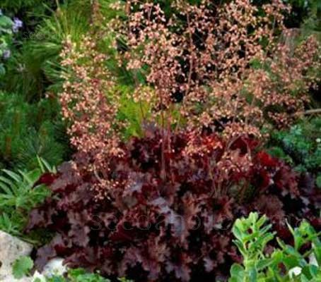 Heuchera Melting Fire, a new seed variety of Heuchera is named for the intense purple-red colour of its new foliage.