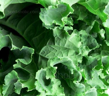 Kale 'Hungry Gap' is a reliable old variety that is superior in hardiness and colour.