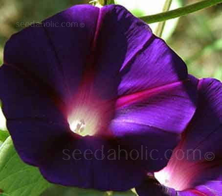 Ipomoea purpurea 'Kniolas Black' is one of the darkest of all Ipomoea varieties available.