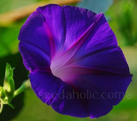 "Ipomoea purpurea ""Grandpa Ott"" flowers of intense violet-blue, with a ruby red star produced in profusion on the plant."