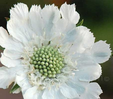 Scabiosa caucasica 'Perfection White'