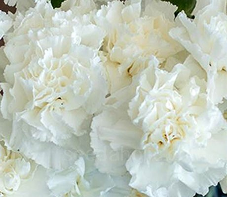 Chabaud Carnation ' Jeanne Dionis' is simply glorious.