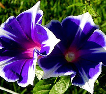 Ipomoea nil 'Kikyozaki', the Star Morning Glory produces blooms with a unique star shape.