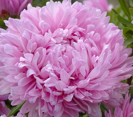 Callistephus chinensis 'King Size Pink'