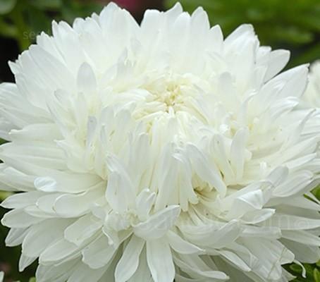 Callistephus chinensis 'King Size White'