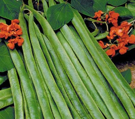 Runner Bean 'Lady Di' is an exceptional scarlet-flowered variety that produces long, slim blemish-free pods of exceptional quality.