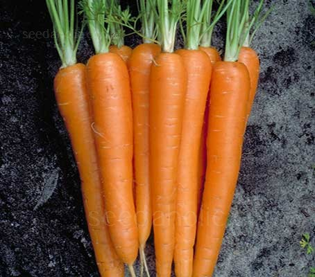 Laguna may just become your 'carrot of choice' in the vegetable patch.