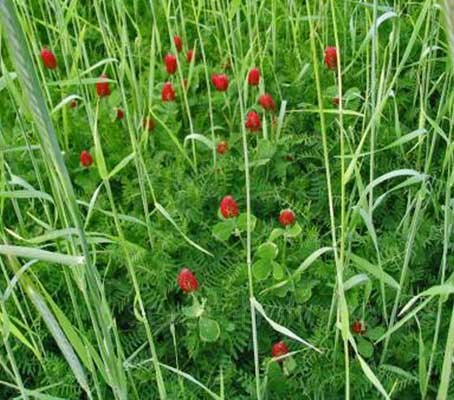 Green Manure 'Landsberger Winter Mix' is the ultimate in winter green manure.
