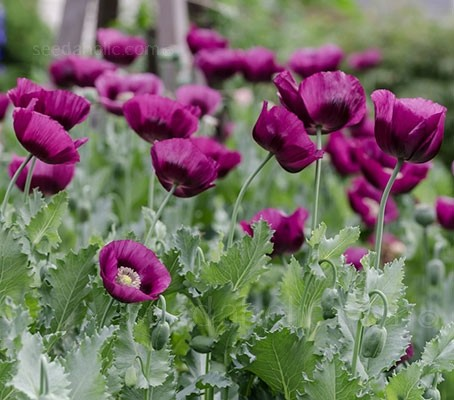 Papaver somniferum 'Laurens Grape'