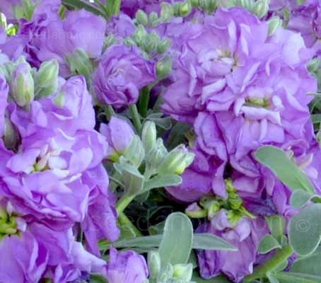 Matthiola 'Cinderella' is an extremely early and long flowering series that produces a high percentage of double flowers
