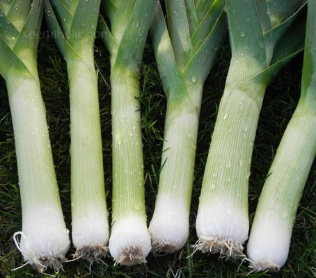 F1 Leek Oarsman is one of the best hybrid leek varieties currently available