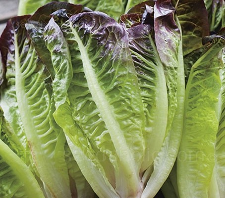 'Little Leprechaun' is a compact variety of Cos lettuce