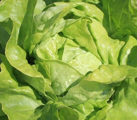 Lettuce 'Suzan' is a traditional butterhead, the heads are tightly-packed and the hearts are fleshy and tasty.