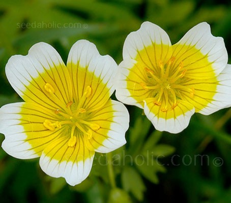 The golden-yellow centred, saucer-shaped flowers of the familiar Limnanthes douglasii are delicately scented.