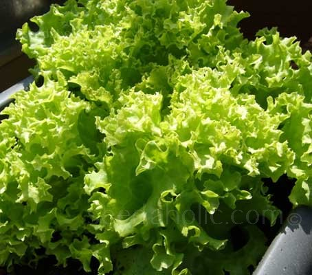 Lollo Bionda lettuce forms a beautiful round mound of pale green, crisp frilled edged leaves.