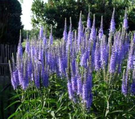 Veronica longifolia blooms with  tall, slender blue columns crowded with small tubular blossoms.