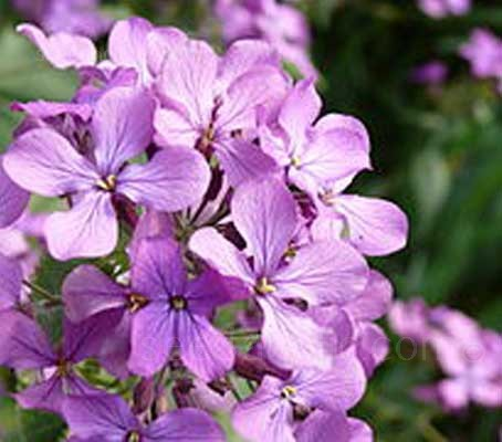 It is a vital nectar plant and therefore popular with bees and butterflies