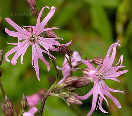 Lychnis flos cuculi 'Ragged Robin' (Collections)