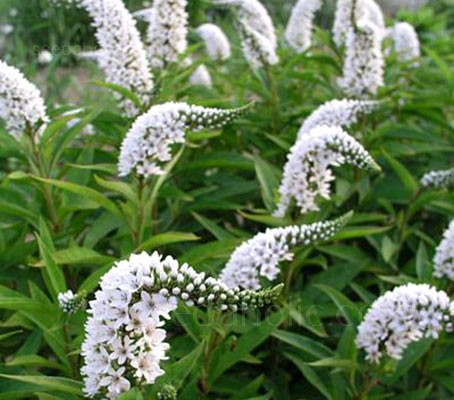 In late summer Lysimachia clethroides 'Lady Jane' produces spires of white blossoms right above the foliage.