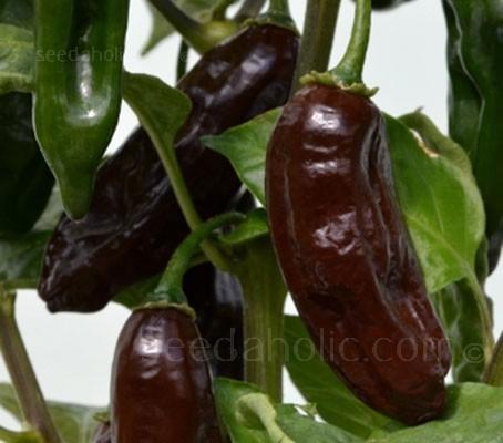 Pepper, Chili Pepper 'Machu Pichu'