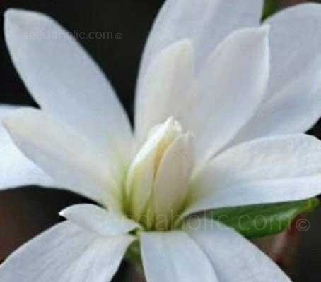 Magnolia kobus, Kobushi Magnolia