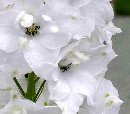 Delphinium 'Pure White Fountains' is an elegant delphinium with  densely packed flower spires of pure white blooms.