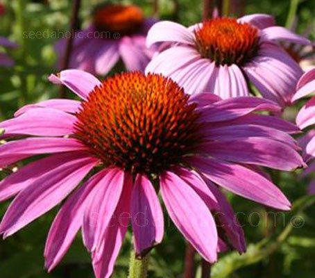 Echinacea 'Magnus' is an outstanding selection of the 'Cone Flower', which has for many years been one of late summer's most garden worthy forms.