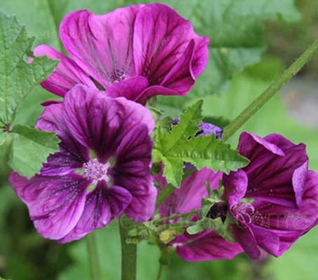 Malva 'Bibor Felho'  feature velvety, plum-purple flowers with deep purple veins which emerge from distinctive purple flower buds.