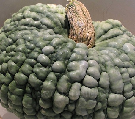 'Marina di Chioggia' is a very old Italian Heirloom variety