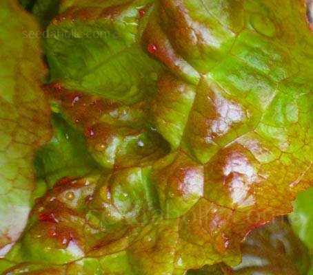 Marvel of Four Seasons is as tasty as it is beautiful, and it is a truly beautiful lettuce.