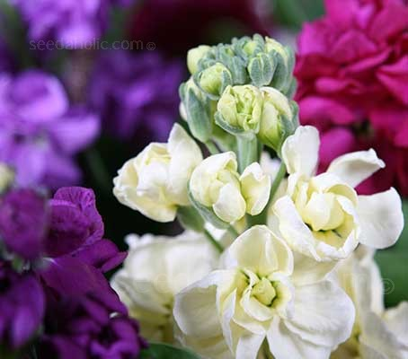 'Lucinda' is a fabulous series of mid-season Stocks that has been bred for especially for cut flower production.