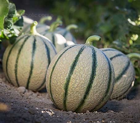 Melon 'F1 Irina' is an early maturing, vigorous variety with an abundance of female flowers.