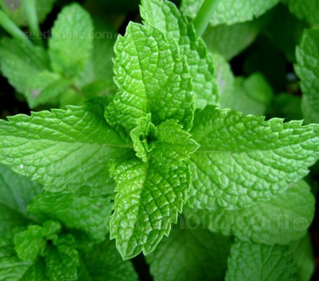 Mentha spicata (formerly viridis) is the best strain grown from seed. Chopped leaves are used in many culinary dishes.