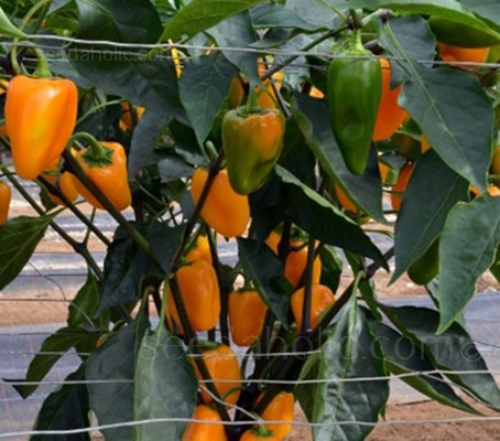Pepper 'Midas' is a hybrid between a thick walled chilli and a sweet pepper.