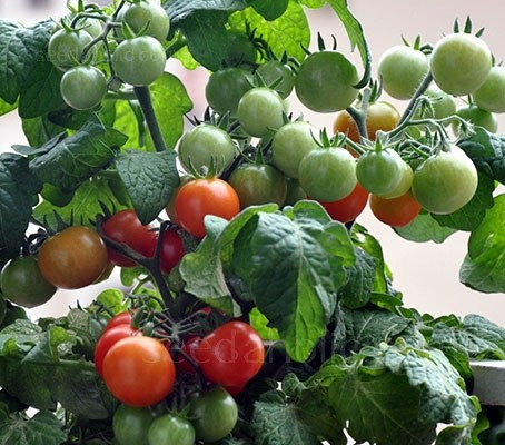 Tomato 'Minibel' has an upright habit that is perfectly suited for a patio container, however, this is no mere ornamental.