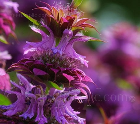 Monarda Lambada bears long spires of deep pink-mauve flowers.