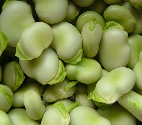 Bean: Broad Bean 'Monica'