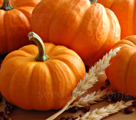 Rated the best miniature pumpkin 'Munchkin' is only 10 to 12cm (3 to 4 in) wide.