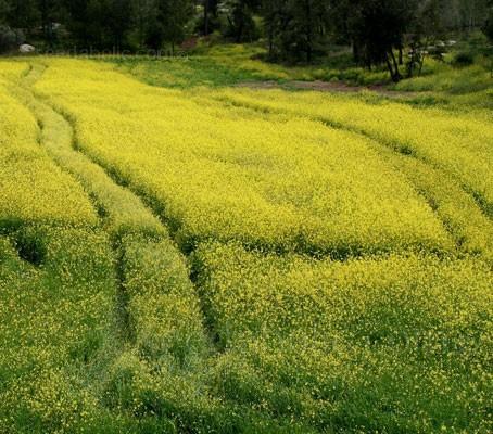 Green Manure 'Mustard'