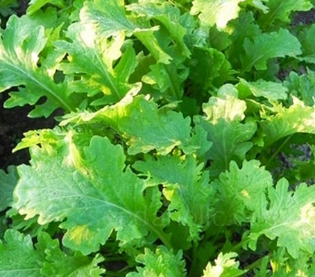 Mustard 'Pizzo' is a new mustard green with that is beautifully mild flavoured when young and hot once mature.