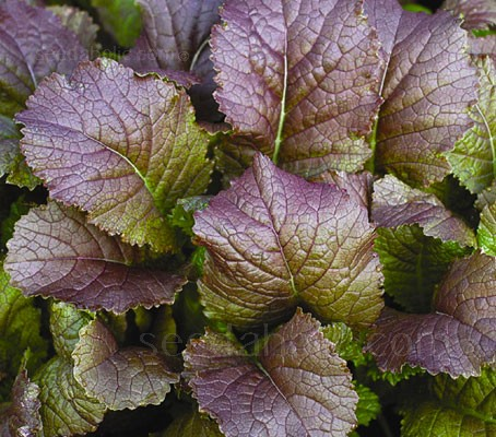 Mustard 'Red Giant' is a vigorous growing broad leaf variety.