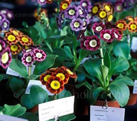 Auricula are easy to grow and a few specimens make excellent plants for a sun room to be brought out and admired when they come into flower.