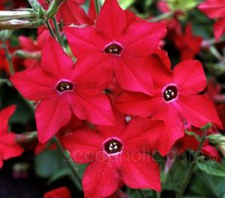 'Crimson Bedder' is free-flowering and sun-loving, their pure bloom power makes this plant a winner for every gardener.