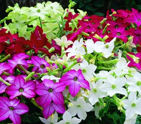 With a heavenly evening scent that is heavy and penetrating and unlike old varieties, the flowers stay open all day.
